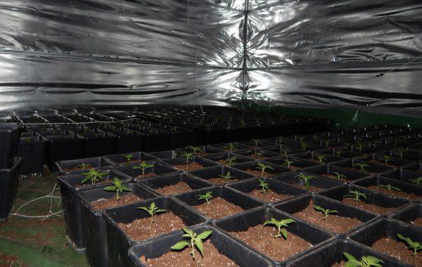 Nielegalna plantacja marihuany w Więcborku (video)