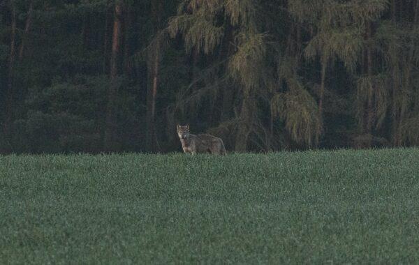 Wilki w sępoleńskich lasach (video)